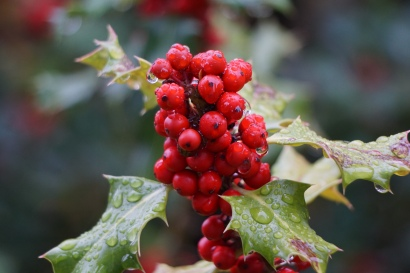Holly berries, covered in dew
