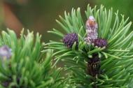 Baby pinecones